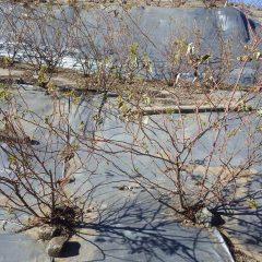 古い枝と新しい枝が入り交じり隣の株とも交差しています